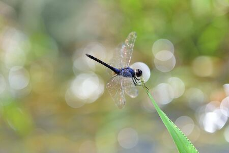Dragonfly (Trithemis festiva) in the Taiwan.