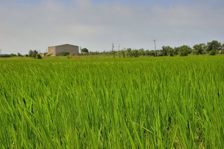 Lush green paddy in rice field ,Autumn background in the Taiwan. Reklamní fotografie