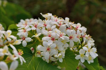 Tung tree flowers with nice background