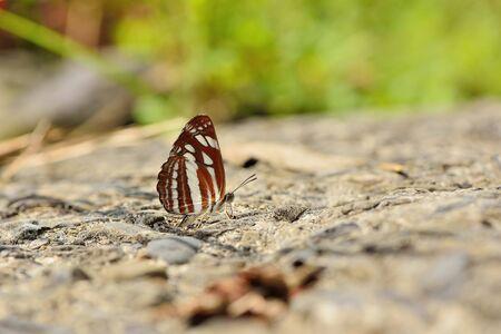 Butterfly from the Taiwan (Neptis soma tayalina Murayama) Butterfly in water Zdjęcie Seryjne