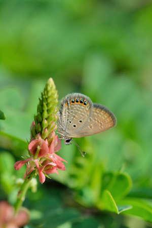 Butterfly (Freyeria putli formosanus) Taiwan's smallest gray butterfly