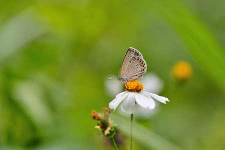 Butterfly (Zizeeria maha okinawana) Blue Grey Butterfly.