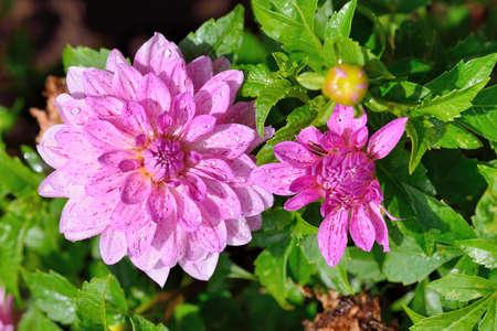 Dahlia flower (Dahlia pinnata Cav.) in the Taiwan.