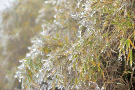 Frozen plant (rime),in Hehuan Mountain, Taiwan.