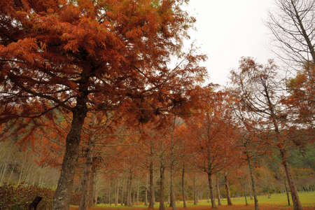Colorful winter deciduous cypress tree,in Wuling Farm, Taiwan. Stock Photo