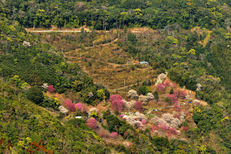 Blooming red and white sakura scenery in the mountains of Taiwan.