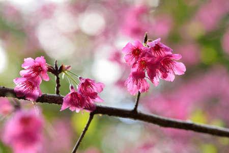 Taiwan Mountain Cherry Blossom (Prunus campanulata Maxim)