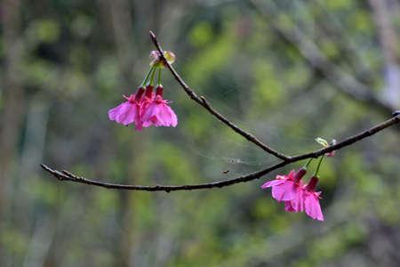 Taiwan Mountain Cherry Blossom (Prunus campanulata Maxim) Stock Photo