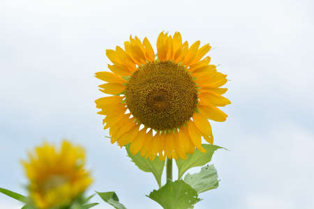 Bright colorful yellow sunflower. Shallow depth of field.