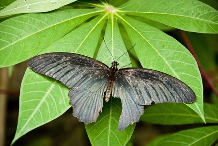 butterfly , pretty black , on a leaf ,