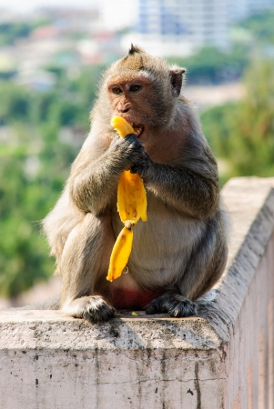 a monkey is eating a banana seeks can see in the tourist attraction near the seaside of Thailand