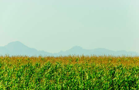 cornfield is green cheerful with mountain background in Thailand Stock Photo