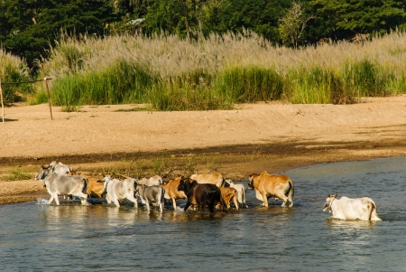 The cow crowd is crossing a river between Thai borderland and Burma