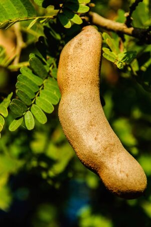 tamarind fruit sweet sour and delicious of Thailand Stock Photo