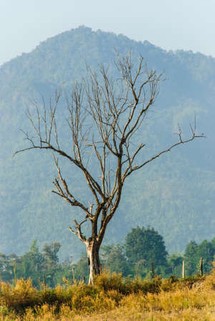 dry tree with a mountain in one field of Thailand