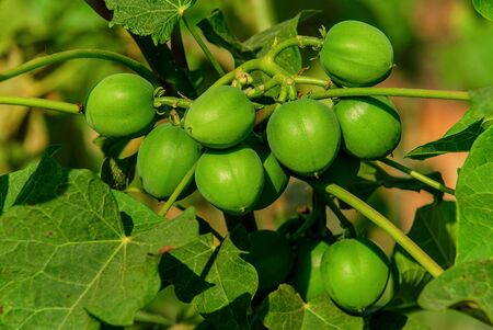 the fruit green tropical area is in Thailand and Burma Stock Photo