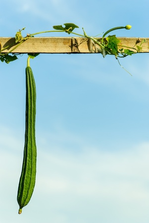 kind climber vegetables involves the bamboo and the sky are the background Stock Photo