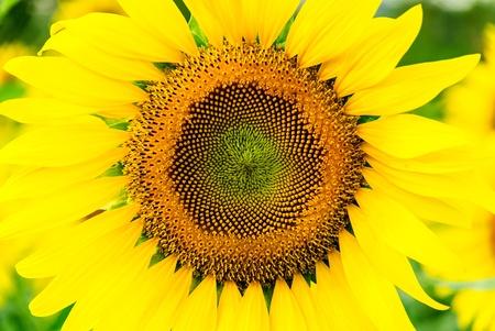 yellow fresh beautiful sunflowers in field of Thailand Stock Photo