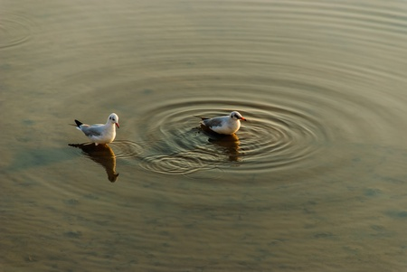 two sea gull has is swimming in the tourist attraction of Thailand