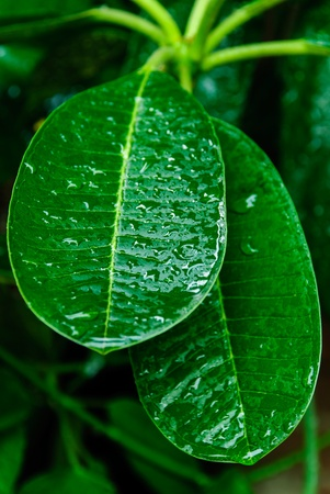 The green leaf with rain drop in thai