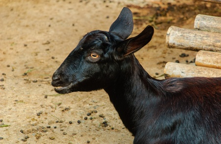 The goat black at the zoo in thailand Stock Photo