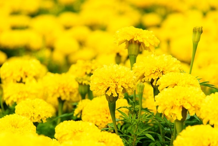 The marigold yellow beautiful field in Thailand