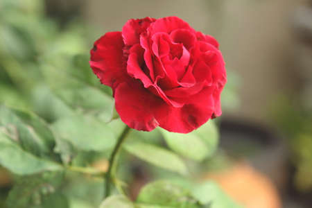 beautiful rose: Red delicate beautiful rose flower love