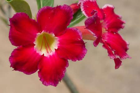 obesum: Roadside flower Adenium obesum Balf