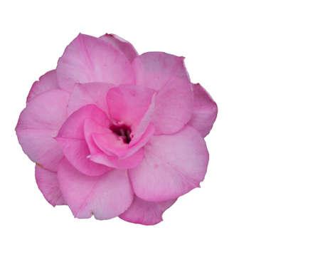 adenium: Roadside flower Adenium obesum Balf