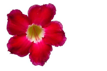 adenium obesum balf: Roadside flower Adenium obesum Balf