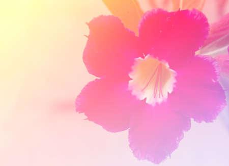 obesum balf adenium: Adenium obesum Balf pink flower stamens blurred focus