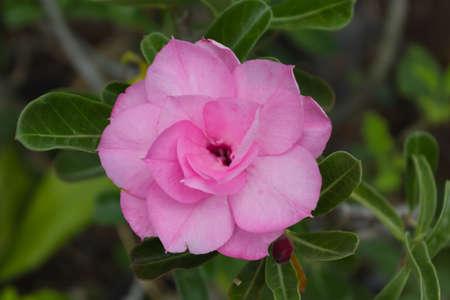 obesum balf adenium: Roadside flower Adenium obesum Balf