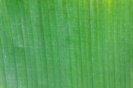secateur: Green banana leaf