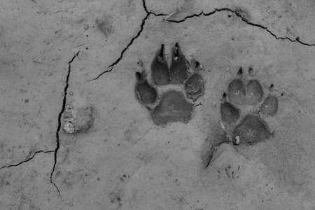mud print: Dog footprints on the ground