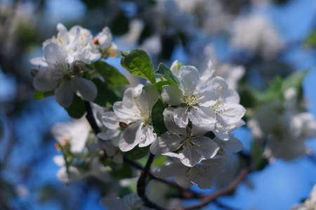 Apple blossom close-up against the blue sky photo