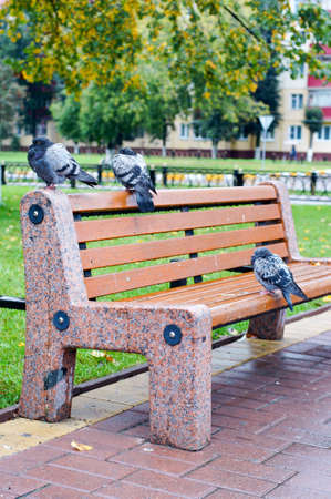 Three pigeons sitting on a bench on the background of autumn leaves photo