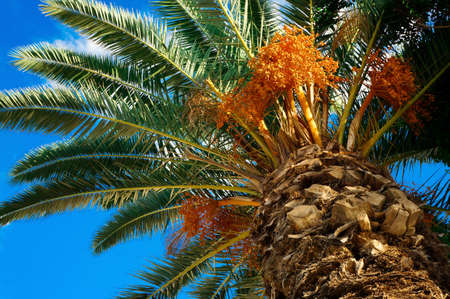 Palm tree with fruits on a background of azure sky photo