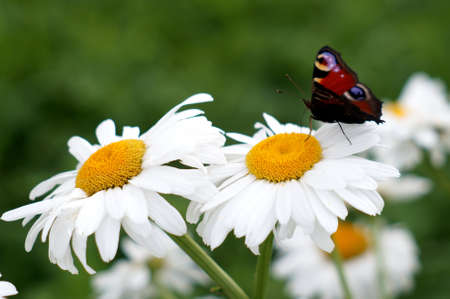 Peacock butterfly on a camomile Stock Photo - 24389583