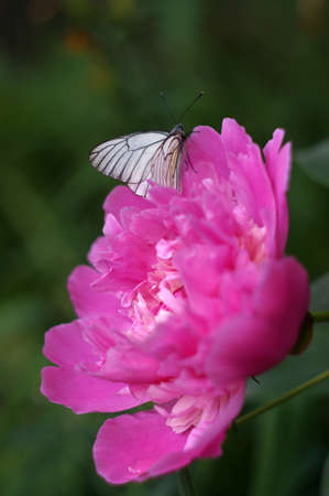 pion: White butterfly on a flower pion