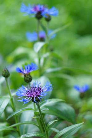 garden cornflowers: Blue cornflowers garden