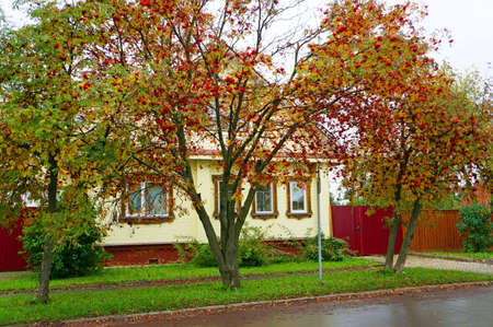 Rural yellow house and bushes in the autumn rowan Russian town of Suzdal