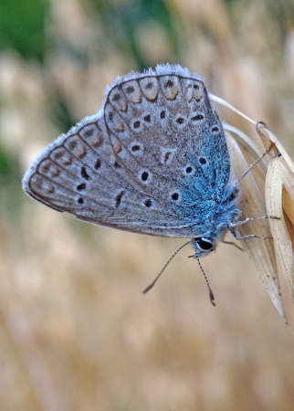 lycaenidae: Butterfly blue lycaenidae at the ripe oats