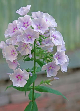 Phlox flowers in the garden photo