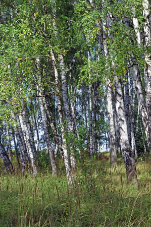 Birch grove in summer                    photo