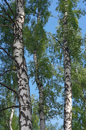 Several trunks of birch trees against the blue sky photo