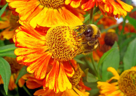 Macro - Bumblebee on a bright orange flower Helenium photo