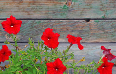 bloomy: Bright red petunias in the background out of focus wooden planks