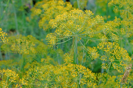 inflorescence: Inflorescence dill close-up