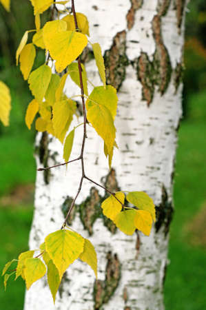 Sprig of birch with yellow leaves on a background of a birch trunk photo