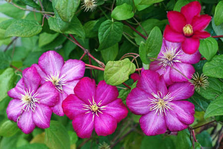 Purple clematis close up photo